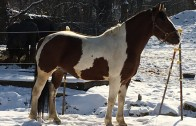 Angus: Colt Starting and Restarting the Adult horse online course